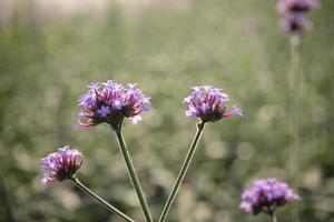 violett blomma i fält