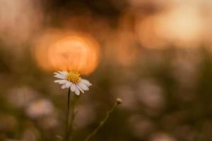 närbild av små vilda blommor i gräset i varm vintage ton