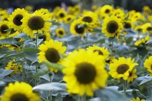 närbild av solros naturlig bakgrund foto