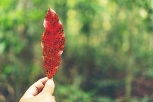 person som håller ett rött blad