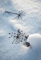 torkade växter i snön foto