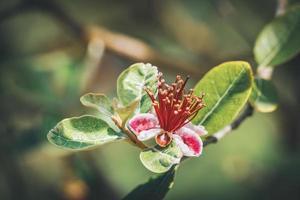 exotisk röd blomma av ananas guavaträd foto