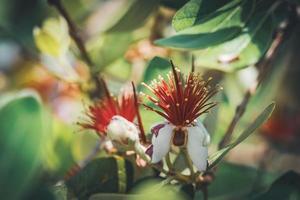 exotiska röda blommor av ananas guavaträd foto