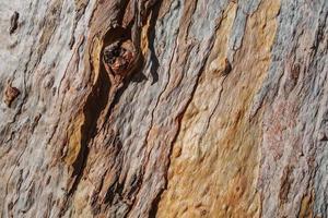 textur av bark av ett gammalt eukalyptusträd foto