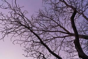 kala grenar av ett hästkastanjträd vid lila solnedgång foto