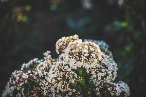 blommor och knoppar av en viburnum tinus buske foto