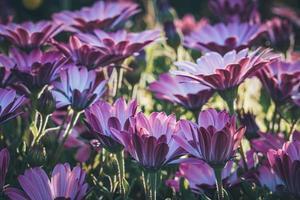 lila och rosa blommor av afrikansk tusensköna foto