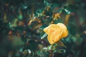 gul blomma av en mini rosbuske foto