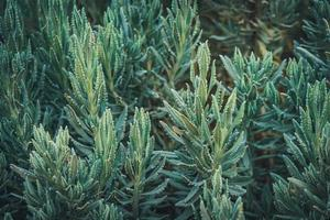 gröna blad av söt lavendel foto