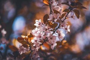 blommor av plommonträd tidigt på våren foto