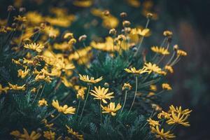 blommor och knoppar av gula prästkragar foto
