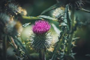 lila blomma av en vanlig tistelväxt foto