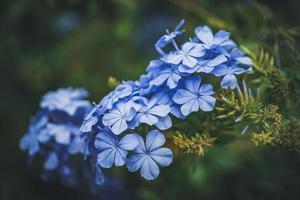 blå blommor av cape blywort även känd som blå plumbago foto