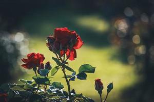 odlade röda rosor i blom med knoppar foto