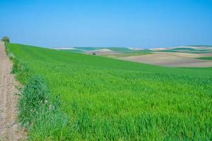 gräsbevuxna gröna jordbruksfält foto