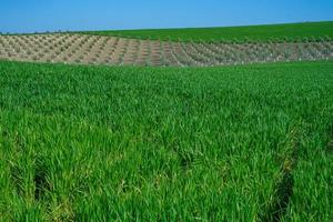 gräsbevuxet grönt fält med grödor foto