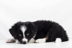 border collie valp foto