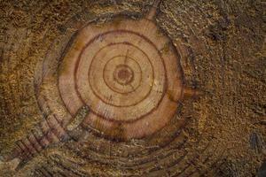 mellersta ringar av ett träd foto