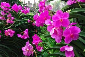 grupp lila orkidéer foto