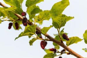 färska mullbär, svarta mogna och röda omogna mullbär som hänger på en gren foto