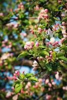 våren äpple blommar foto