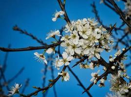 vita vårblommor på en trädgren foto