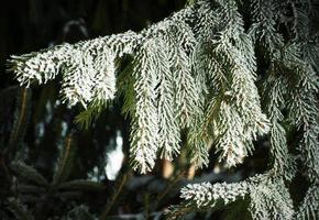 grangren med frost foto
