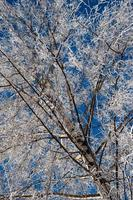 frysta grenar av ett björkträd foto