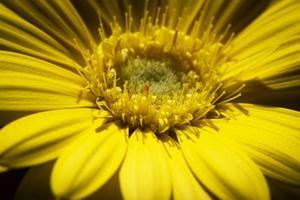 detalj av en gul blomma foto