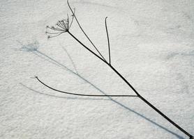 torr växt på snö foto