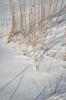 långt torrt gräs på snö foto