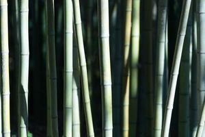 gröna bambustammar i direkt solljus foto