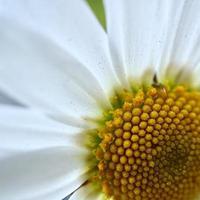 vit tusensköna blomma under vårsäsongen foto