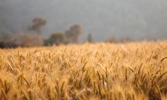 kornfält under sommarsäsongen