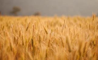 fält av korn på kvällen