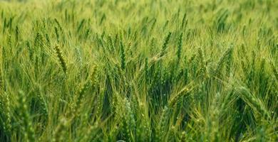 gröna kornfält