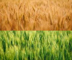 kornfält på sommaren