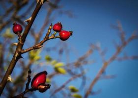 röda nypon på en gren foto