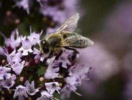 bi på en violett blomning foto