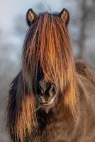 porträtt av en brun isländsk häst i gyllene solljus