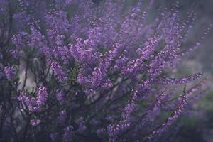 närbild av en buske av lila ljung i morgondimning foto