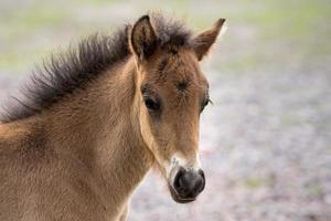 huvudporträtt av ett ungt isländskt hästföl foto