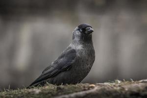 närbild av en jackdawfågel med ljusblå ögon foto