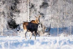 kvinnlig älg som står på ett snöigt fält på vintern