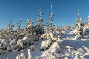 granar täckta med snö i solljus och blå himmel