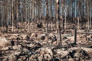 förblir döda och brända träd i en skog som härjats av eld foto