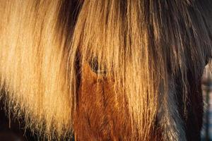 partiell närbild av huvudet på en kastanjfärgad isländsk häst