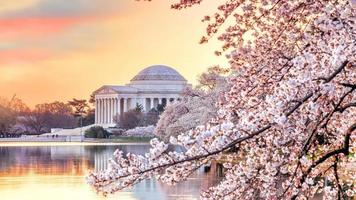 jefferson memorial under cherry blossom festivalen foto