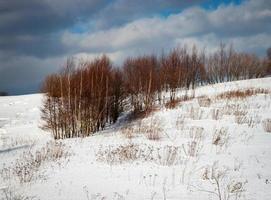 björkar i snö foto