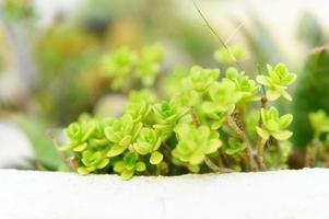 saftiga växter i en utomhus blomsterrabatt foto